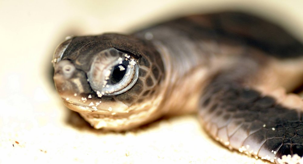 UP CLOSE TO A BABY SEA TURTLE. SEE TURTLES HAS BEEN INSTRUMENTAL IN HELPING TO GIVE 1.2 MILLION HATCHLINGS A CHANCE TO SURVIVE. IMAGE: DREAMSTIME.COM and SEE TURTLE FACEBOOK PAGE.