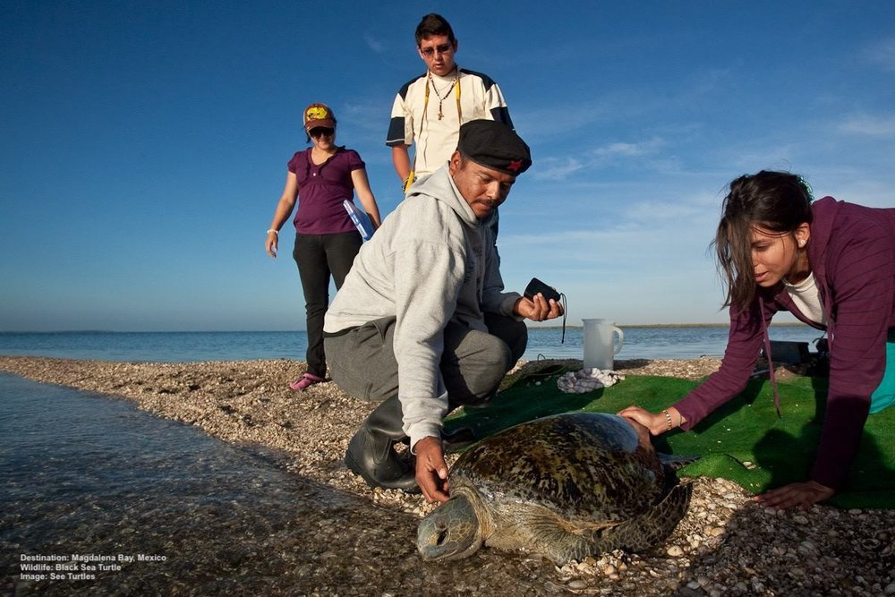 VOLUNTEERS AT MAGDALENA BAY, MEXICO RELEASE A BLACK SEA TURTLE (SUBSPECIES OF THE GREEN) AFTER TAKING ITS STATISTICS. IMAGE:  ELIZABETH MORENO /RED TRAVEL