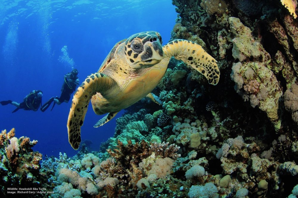 HEALTHY CORAL REEFS DEPEND ON HAWKSBILL SEA TURTLES TO KEEP SEA SPONGE POPULATIONS UNDER CONTROL. IMAGE: RICHARD CARY / ADOBE STOCK