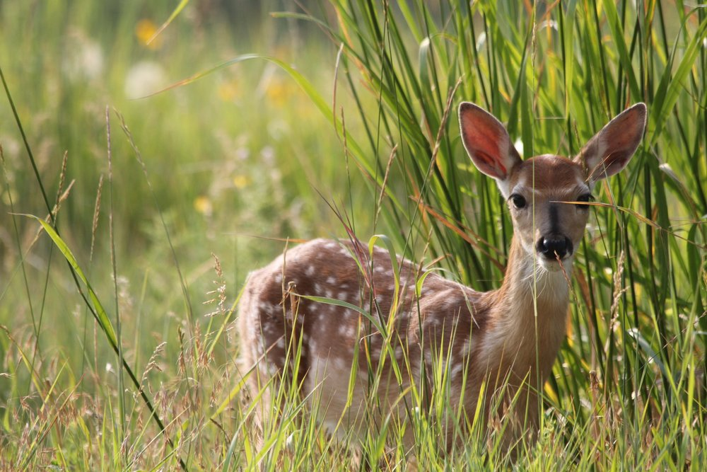 WHITE TAILED DEER FAUN PEEKING OUT OF THE TALL GRASS. PERHAPS LISTENING TO BUGLING? IMAGE JACKIE WICHMAN USFWS, CHARLES M RUSSEL WILDLIFE REFUGE