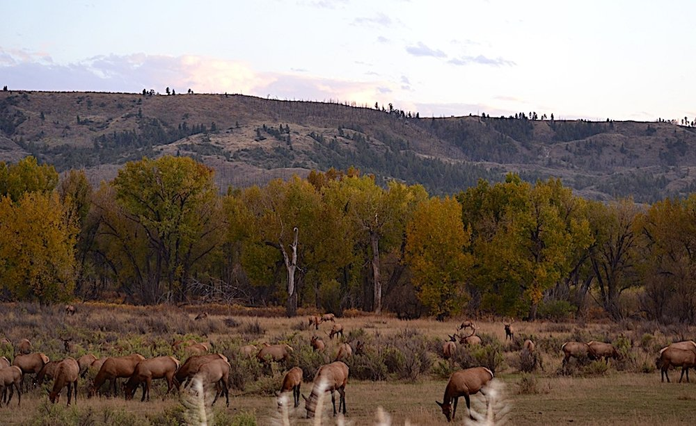 AT DUSK, FROM DOZENS UPWARDS TO MANY HUNDREDS OF FEMALE ELK AND THEIR CALVES EMERGE FILLING THE OPEN SPACE BETWEEN THE TREE LINE AND THE ROAD AT SLIPPERY ANN. THE AMOROUS BULLS FOLLOW CLOSE BEHIND.  IMAGE: COURTESY OF ©MONTANA'S MISSOURI RIVER COUNTRY