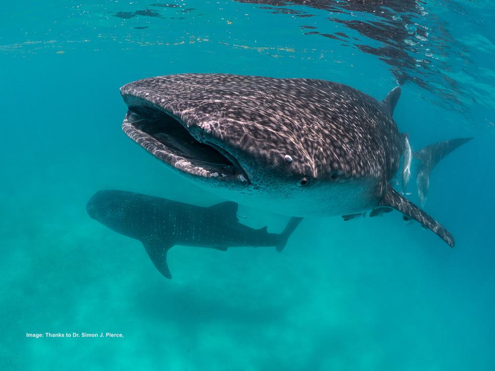 1. WS C3 whale-shark-simon-pierce-1060845 copy 3.jpg