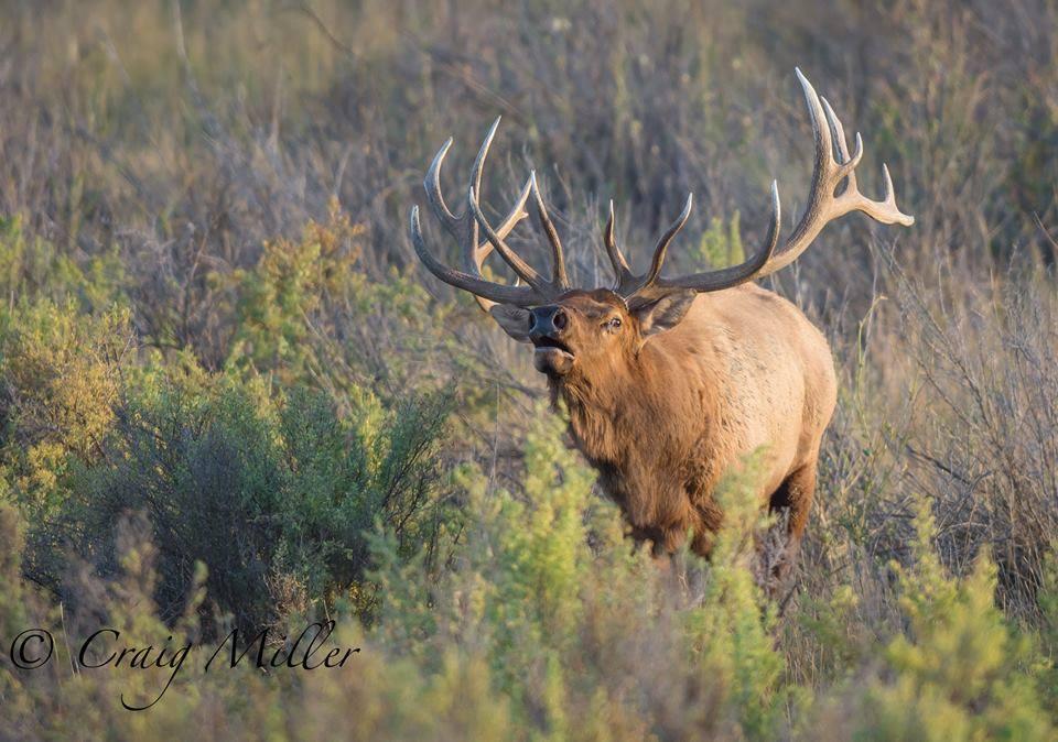 RockyMountain-Elk-CharlesMRussel-Wildlife-Refuge-Montana-CraigMiller.jpg