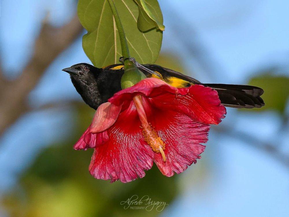 Puerto Rican Bullfinch. Image: Alfredo Irizzary Thanks to Aves de Puerto Rico