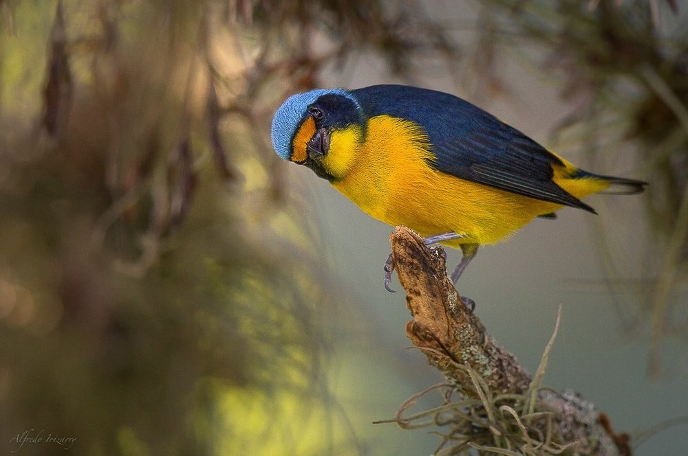 Antillean Euphonia, Image Alfredo Irizzary thanks to Aves de Puerto Rico