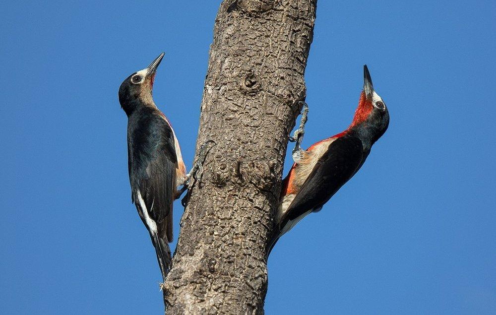 Puerto Rican Woodpeckers. Image Alfredo Irizzary. Thanks to Aves de Puerto Rico