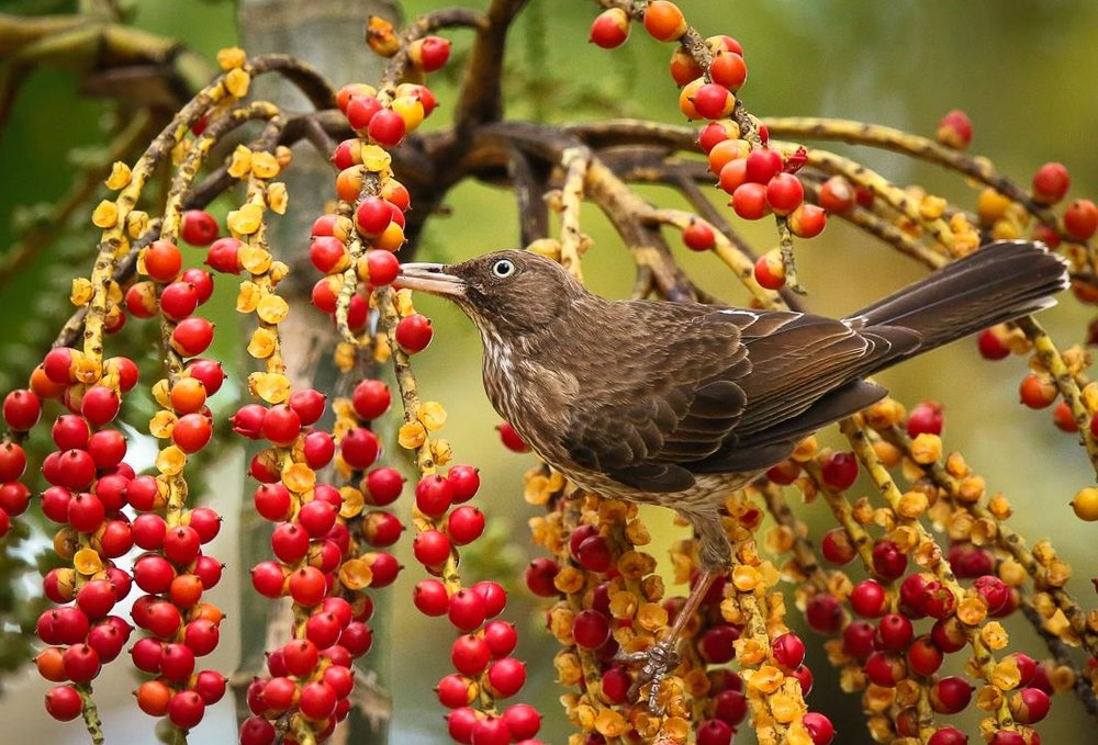Pearly-eyed Thrasher. Image Alfredo Irizzary thanks to Aves de Puerto Rico