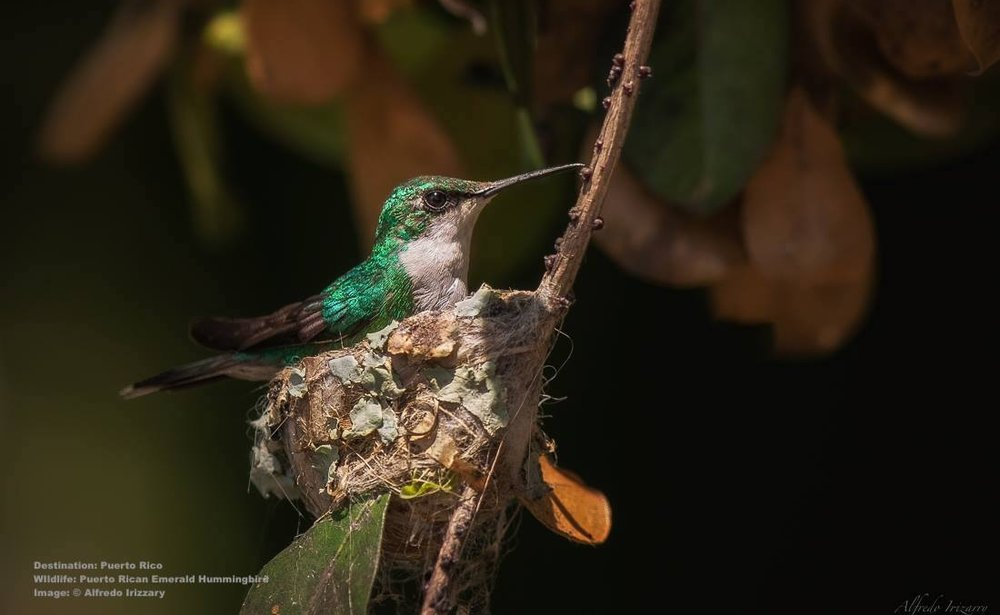 AT CABO ROJO WILDLIFE REFUGE YOU MAY ALSO SEE THE ENDEMIC PUERTO RICAN EMERALD OR Zumbadorcito de Puerto Rico,  (Chlorostilbon maugaeus).  IMAGE COURTESY OF ©ALFREDO IRIZZARY, PHOTOGRAPHY