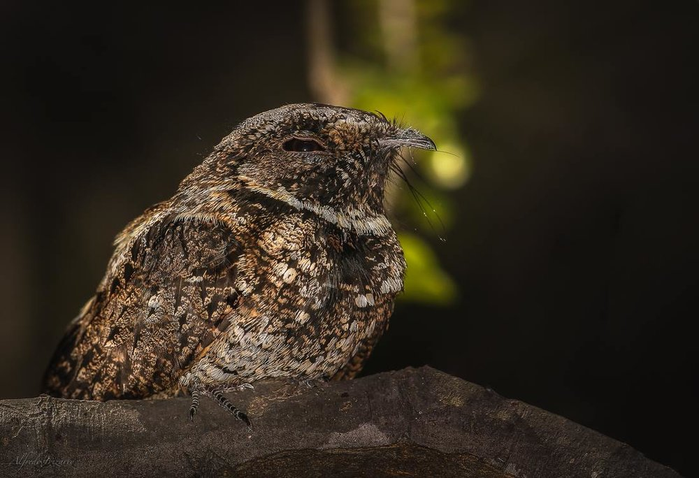 THE PUERTO RICAN NIGHTJAR OR GUABIRO IS A MASTER OF HIDING IN LEAVES ON THE FOREST FLOOR. IMAGE:© ALFREDO IRIZZARI
