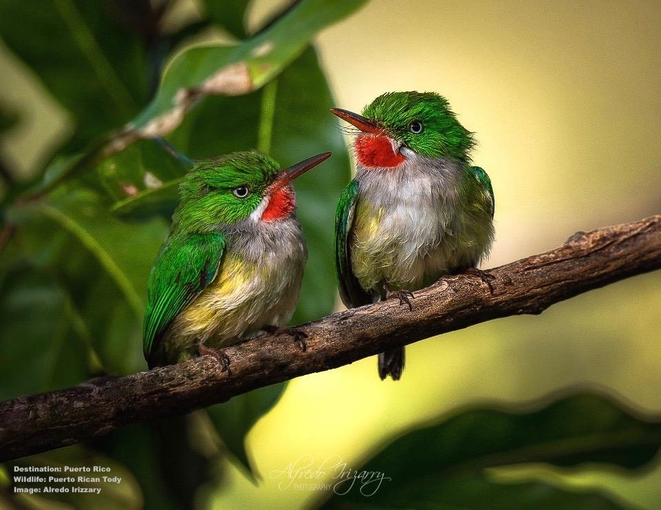 PuertoRicanTody-AlfredoIrizarry-WildlifePhotography-PuertoRico.jpg