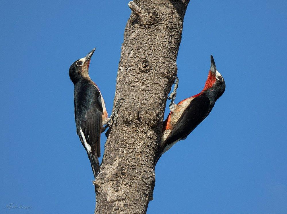 PuertoRocoWoodpecker-AlfredoIrizzary.jpg