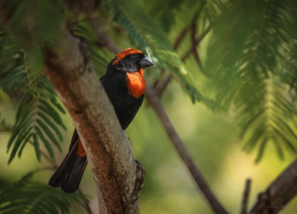 puerto rican bullfinch is one of the endemic species that can be found at bosque estatal de rio abajo, the rio abajo state forest. image: ©alfredo irizzary, photography