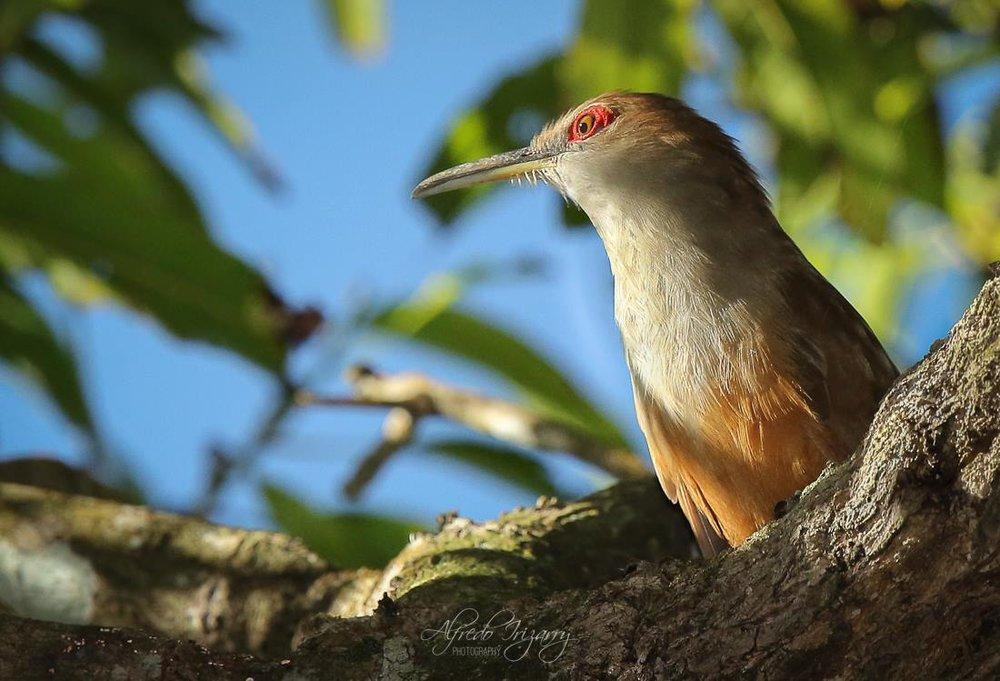 Puerto Rican Lizard Cuckoo