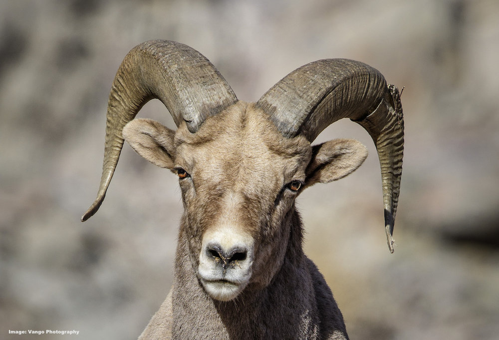 ROCKY MOUNTAIN BIGHORN SHEEP AWEIGH UP TO 340 LBS (154KG) . BOTH MALES AND FEMALES HAVE HORNS. IMAGE: ©Jorn Vangoidtsenhoven, VANGO PHOTOS.