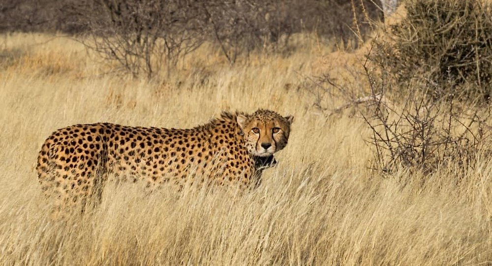 Cheetah-NAMIBIA-CheetahConservationFund.jpg