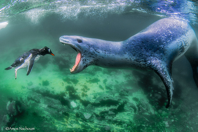 Amos-Nachoum-Facing-Reality-Penguin-Leopard-Seal.jpg