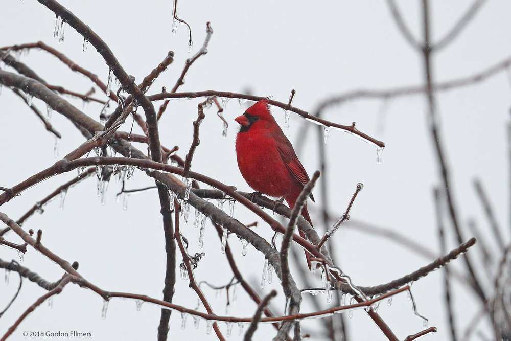 NORTHERN CARDINAL BRAVES A LATE AUTUMN FREEZING RAIN, ONE OF THE CHALLENGES TO BIRDS OVER-WINTERING IN NEW YORK STATE. IMAGE: ©GORDON ELLMERS