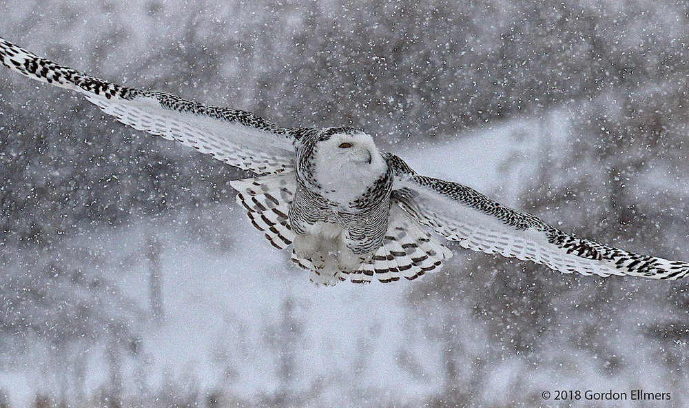 THIS YOUNG (PROBABLY) FEMALE SNOWY OWL CANNOT AFFORD TO STOP HUNTING EVEN IN A SNOW STORM. SHE MUST EAT IN ORDER TO GENERATE ENERGY TO STAY WARM, BUT SHE MUST USE HER ENERGY TO FIND SOMETHING TO EAT. IMAGE: ©GORDON ELLMERS