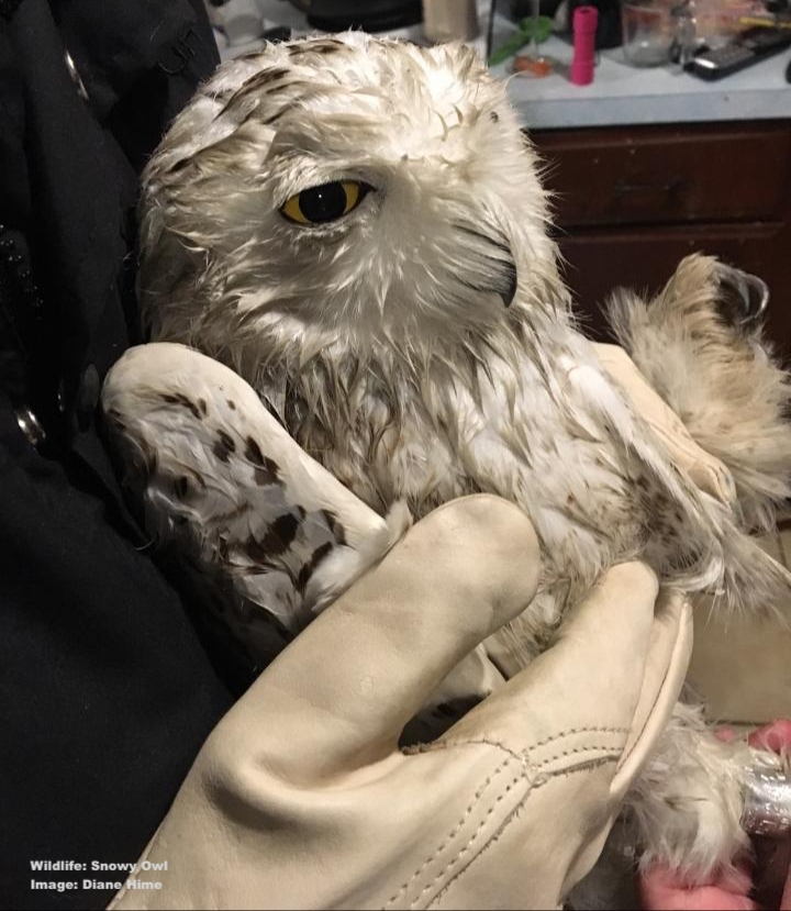 STARVING AND NEAR DEATH, THE LITTLE SNOWY OWL REQUIRED AROUND-THE-CLOCK CARE FOR DAYS, THEN MONTHS TO FULY RECOVER IMAGE: ©DIANA HIME, NORTH COUNTY WILDLIFE CARE