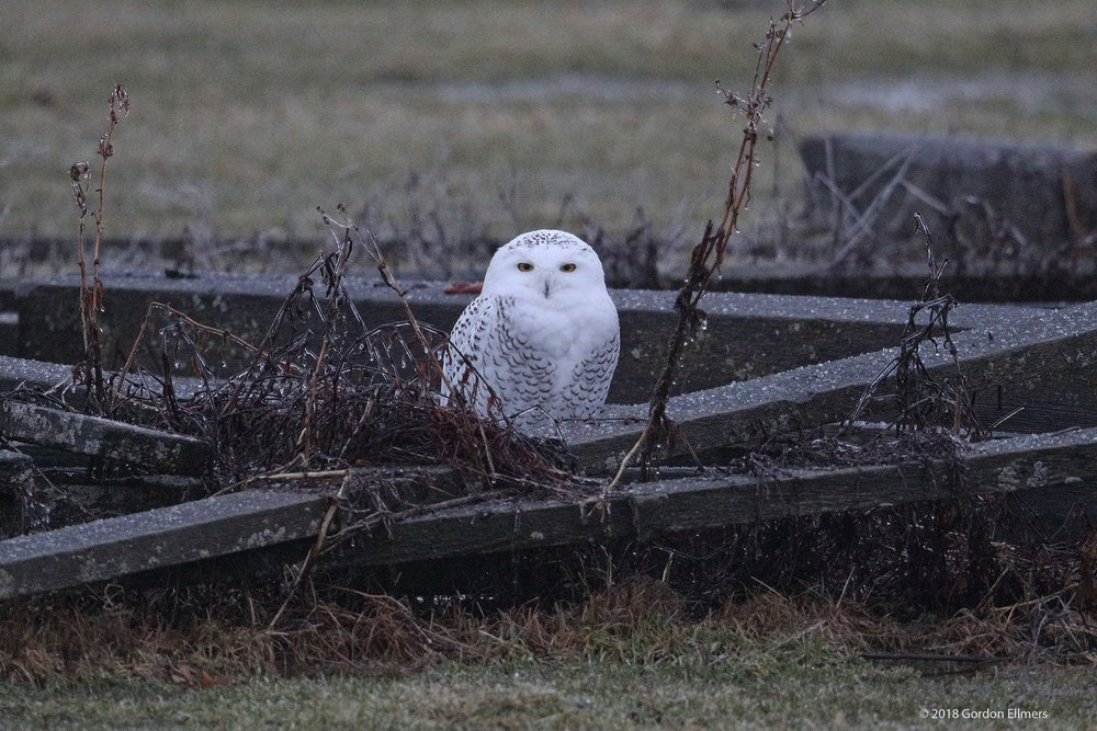 ONLY ONE WEEK AFTER HER RELEASE. FREEZING RAIN IS JUST ONE OF THE CHALLENGES OUR LITTLE SNOWY OWL WILL FACE THIS WINTER. SO FAR SHE SEEMS TO HOLDING HER OWN. IMAGE: GORDON ELLMERS