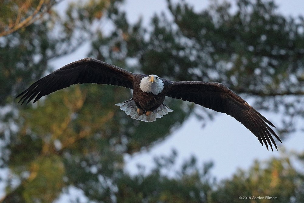 BALD EAGLE TAKES OFF FROM HIS NEST WHERE HIS MATE PATIENTLY AWAITS MORE BUILDING MATERIAL - YES, IN DECEMBER, IN FORT EDWARD, NEW YORK. IMAGE: ©GORDON ELLMERS