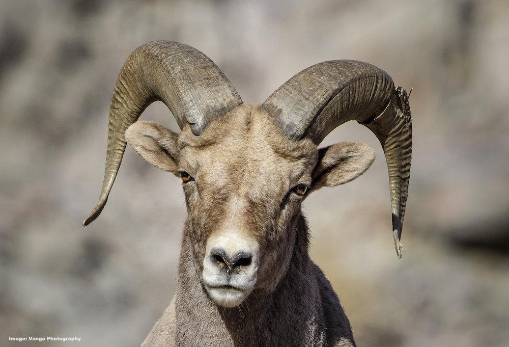 Rocky-Mountain-Bighorn-Sheep-Morenci-Arizona-Vango-photos.jpg