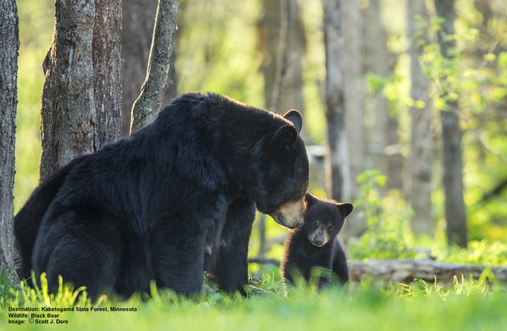 A BLACK BEAR MOTHER AND HER CUB POSED FOR SCOTT DERE AT MINNESOTA'S KABATOGAMA STATE PARK. IMAGE SCOTT DERE.