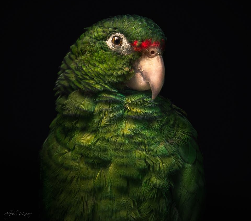 Endangered Puerto Rican Amazon. Image: Alfredo Irezzary