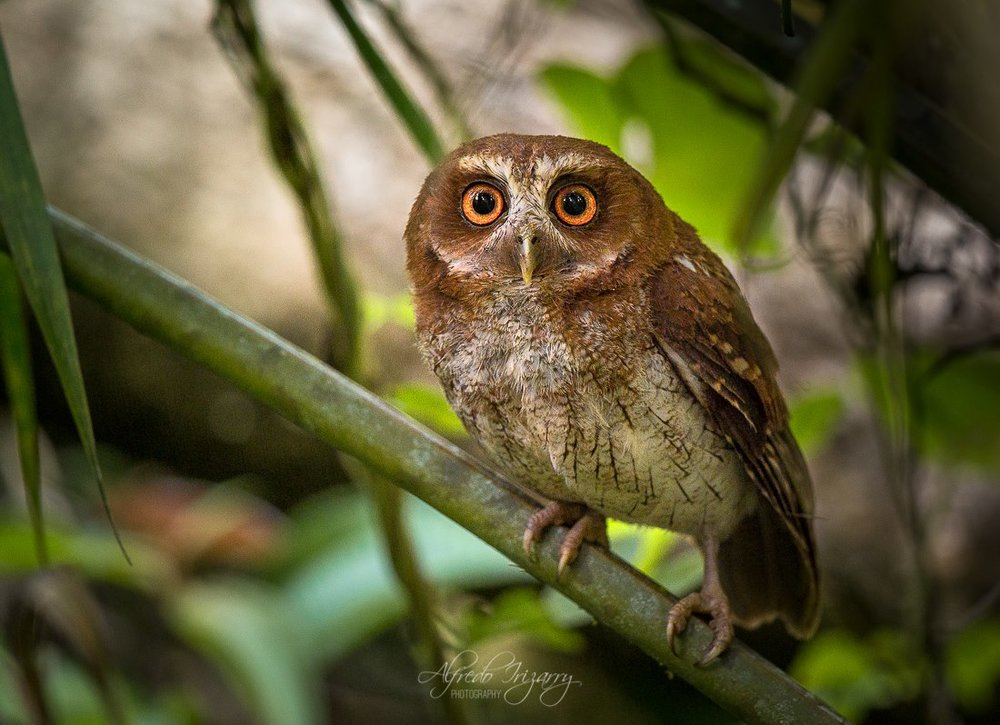 THE PUERTO RICAN SCREECH OWL IS ONE OF THE ENDANGERED ENDEMICS ON THE ISLAND OF PUERTO RICO. IMAGE: ©ALFREDO IREZZARY