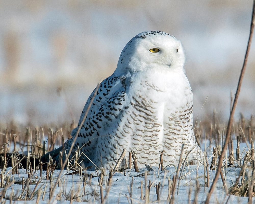 PHOTOGRAPHING SNOWY OWLS CAN BE STRESSFUL - FOR THE BIRD AND THE PHOTOGRAPHER. SCOTT KRUITBOSCH OF THE ROGER TORY PERTERSON FOUNDATION SHARED SOME GOOD ADVICE ON HOW TO MAKE A LOT EASIER ON BOTH. IMAGE: SCOTT KRUITBOSCH AND THE ROGER TORY PERSON FOUNDATION.