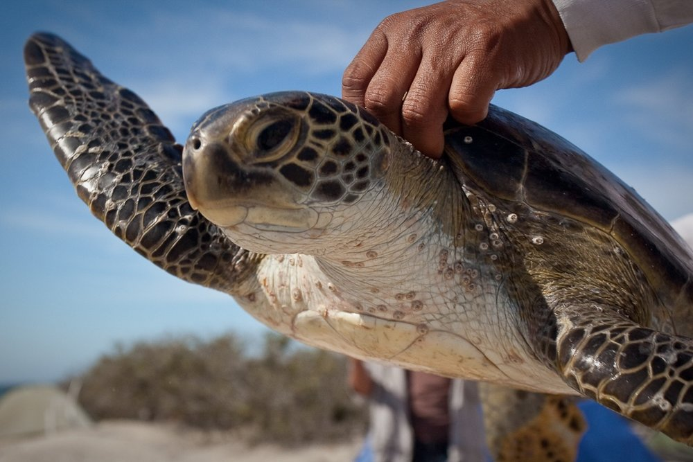 GREEN SEA TURTLES LOVE MAGDALENA BAY AT BAJA CALIFORNIA SUR, SO DO WE. IT IS ONE OF OUR MOST FAVORITE DESTINATIONS FOR SEA TURTLE VOLUNTEERING HOLIDAYS. IMAGE:  RED TRAVEL MEXICO