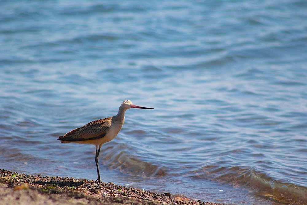 MARBLED GODWIT ON THE BEACH. BAJA CALIFORNIA SUR, MEXICO . IMAGE: THANKS TO  HANNAH GORSKI AND BAJA NOTEBOOK