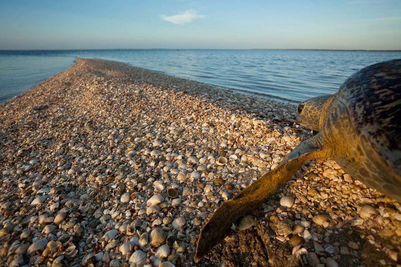 GREEN SEA TURTLE TAKING A BREAK AT BAJA CALIFORNIA SUR, MEXICO. IMAGE THANKS TO RED TRAVEL MEXICO