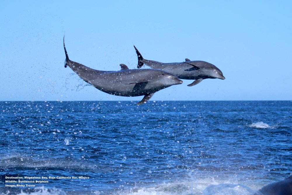 BOTTLENOSE DOLPHINS PLAYING, ONE OF THE MARINE MAMMALS IN MAGDALENA BAY, BAJA CALIFORNIA SUR, MEXICO. IMAGE. Thanks to ©  RICKY TREVOR