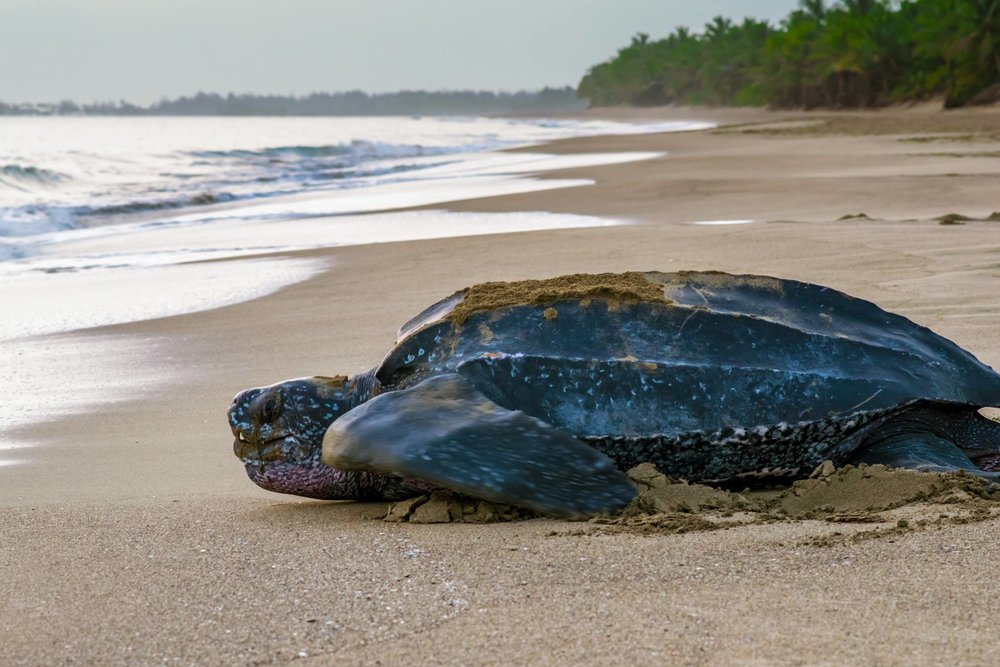 THE LEATHERBACK SEA TURTLE IS THE BIGGEST OF ALL, GROWING UP TO 2000 LBS (900KG) IMAGE: KARLA MORALES, THANKS TO THE  SEA TURTLE CONSERVANCY