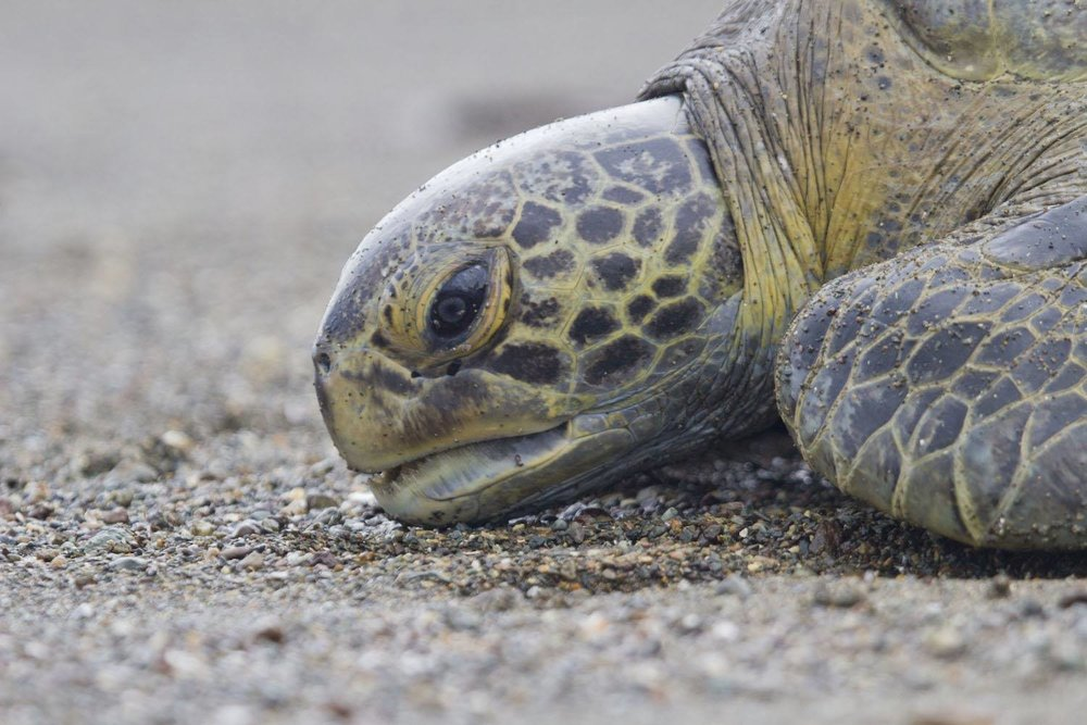 Costa Rica Green Sea Turtle Research Expedition