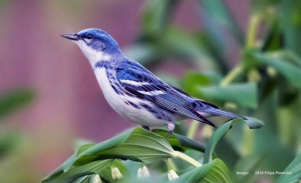 CERULEAN WARBLER IS A RARE BIRD, BUT CAN SOMETIMES BE FOUND IN CENTRAL PARK LIKE THIS LITTLE BEAUTY, RESTING ON ITS MIGRATION. IMAGE: ©2018 FILIPE PENTENTEL