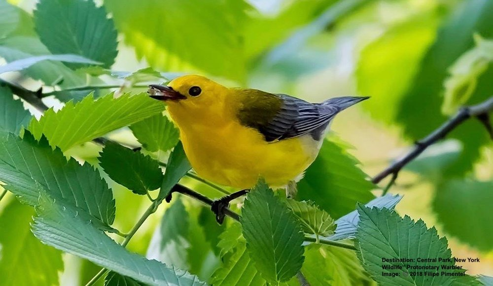 PROTHONOTARY WARBLER IN CENTRAL PARK IS ANOTHER RARE BIRD. THEY LOST 42% OF THEIR POPULATION BETWEEN 1966 AND 2015. IMAGE:  ©2018 FILIPE PIMENTEL
