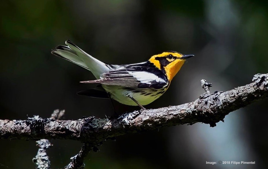 THE BLACKBURNIAN IS THE ONLY WARBLER WITH AN ORANGE THROAT. THIS LITTLE GUY IS A STUNNER DURNING BREEDING SEASON! IMAGE: ©2018 FILIPE PIMENTEL