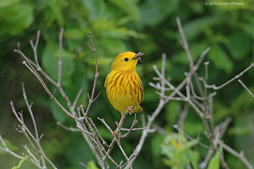YELLOW WARBLERS USE SPIDER'S WEB TO LINE THEIR NESTS, BUT GETTING CAUGHT IN AN ORB SPIDER WEB CAN BE DEADLY FOR THEM. IMAGE: ©GORDON ELLMERS