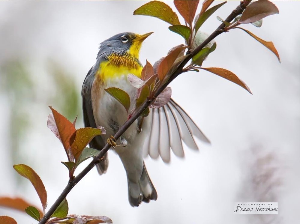 WILDLIFE PHOTOGRAPHER DENNIS NEWSHM CAUGHT THIS NORTHERN PARULA IN CENTRAL PARK. IMAGE: ©2018  DENNIS NEWSHAM PHOTOGRAPHY