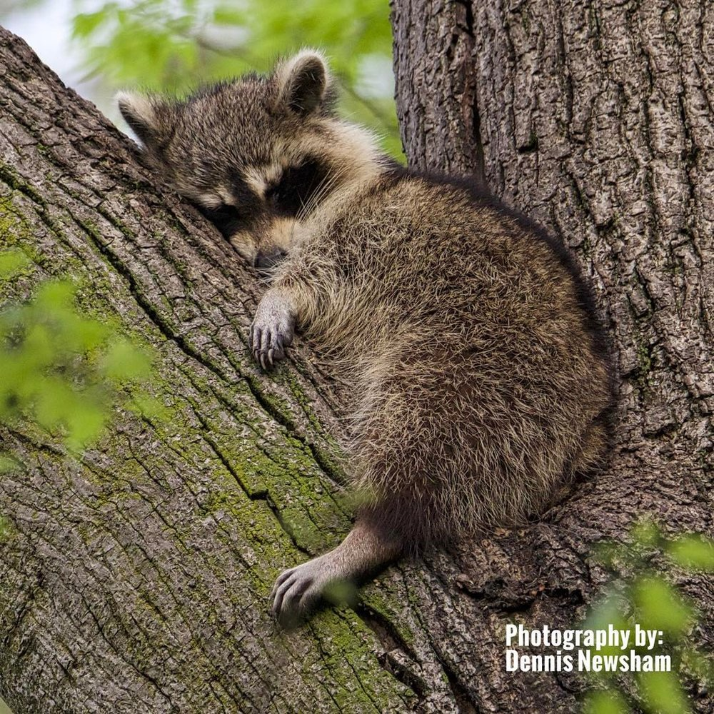 OK, It's a raccoon, not a warbler