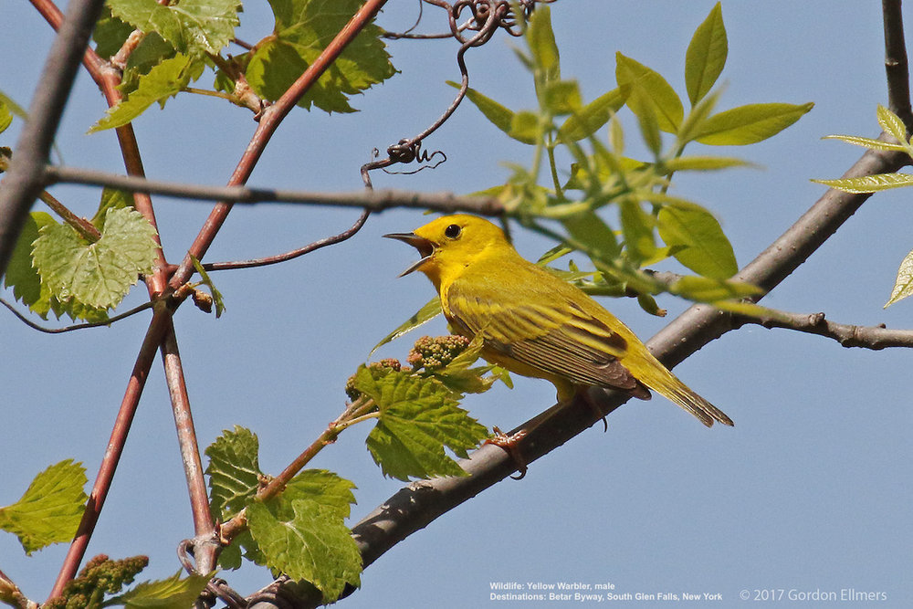 Extension: Yellow Warblers nest around Fort Edward, New York.