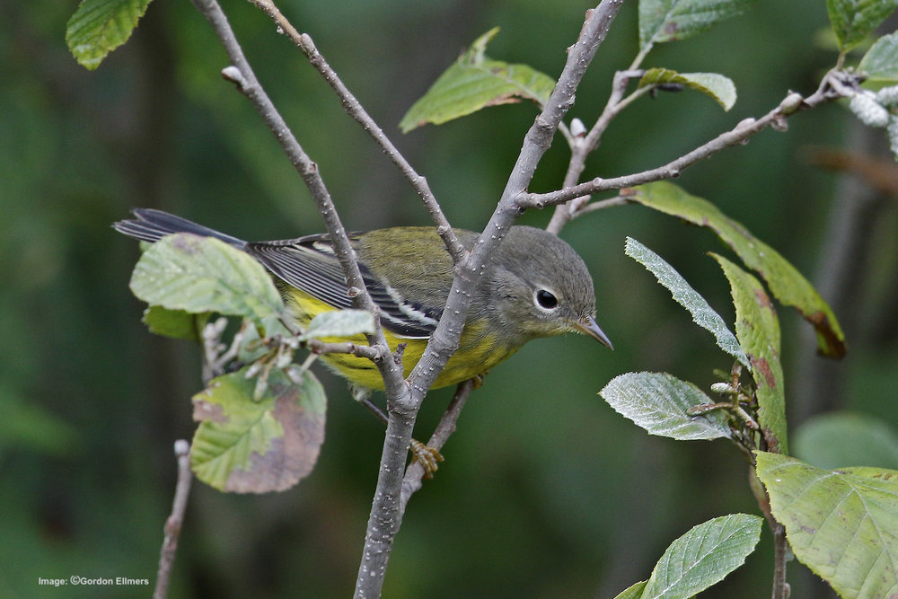 Extension: Magnolia warbler in Fort Edward