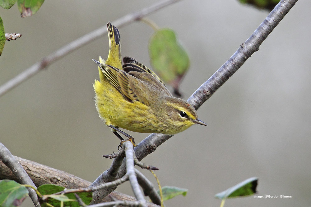 Extension: Palm warbler, Fort Edward, New York