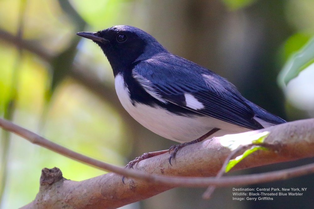 THE FEMALE BLACK-THROATED BLUE WARBLER LOOKS SO DIFFERENT FROM HER MATE THAT ORIGINALLY THEY WERE THOUGHt TO BE TWO SPECIES. IMAGE: © 2018 FILIPE PIMENTEL