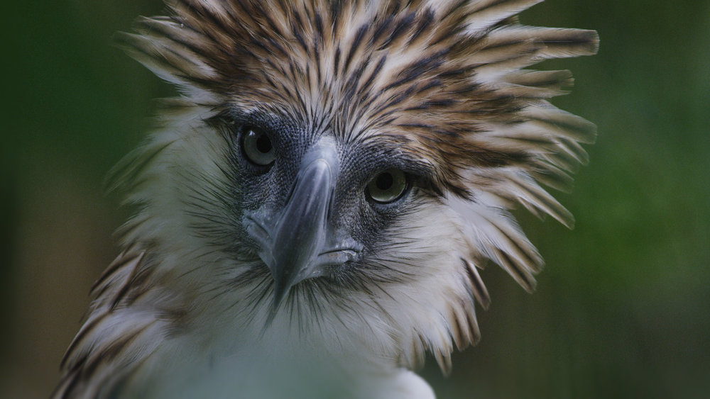 THE GREAT PHILIPPINE EAGLE IS POSSIBLY THE RAREST BIRD ON THE PLANET. CINEMATOGRAPHER DECIDED TO VISIT IT ONE LAST TIME, THE RESULT IS  BIRD OF PREY.