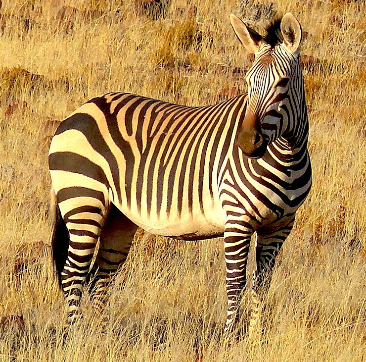MOUNTAIN ZEBRA AT PALMWAG CONCESSION, NAMIBIA. IMAGE: ©R.KRAVETTE FOR DESTINATION: WILDLIFE