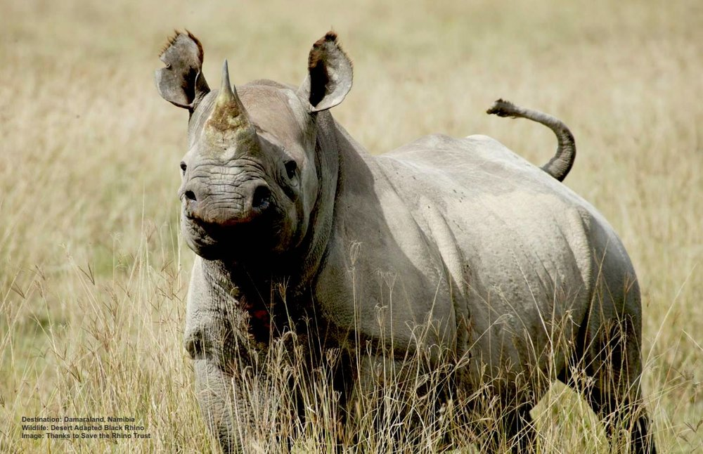 MOST RHINOS NEED TO DRINK EVERY DAY, BUT THESE DESERT-ADAPTED BLACK RHINOS MAY ONLY DRINK EVERY THIRD OR FOURTH DAY. IMAGE: COURTESY  SAVE THE RHINO TRUST .