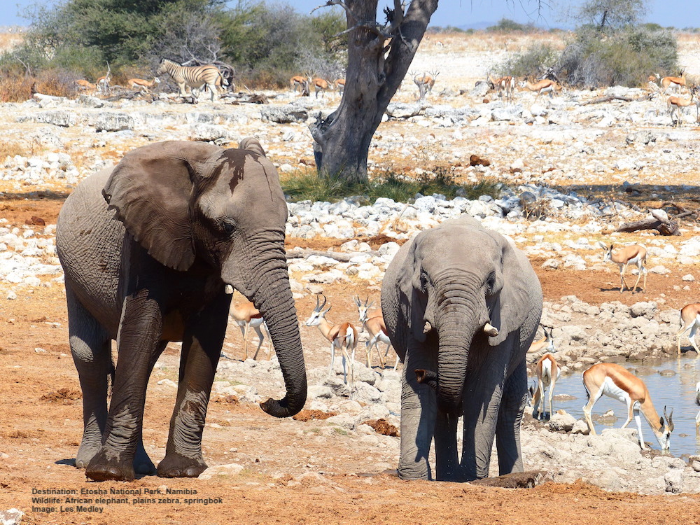 YOUNG ELEPHANTS JOIN SPRINGBOC AND ZEBRA AT THE WATER HOLE AT ETOSHA. IMAGE: ©L.MEDLEY FOR DESTINATION: WILDLIFE